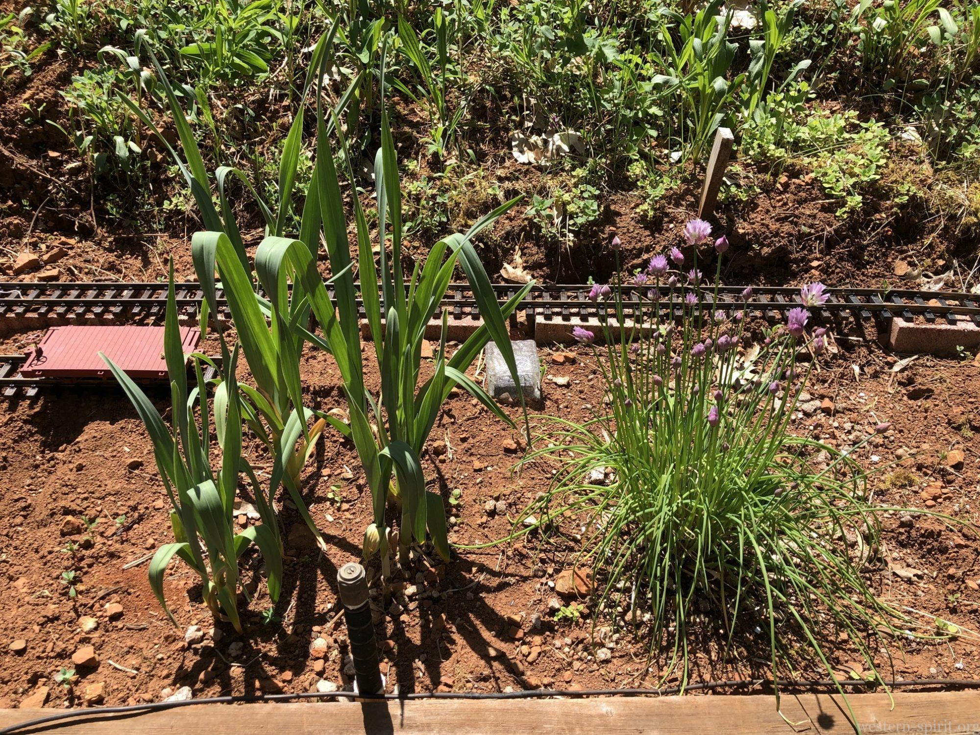 White onions (left) and chives (right)